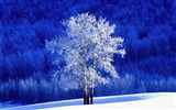 Title:BC Canada snow desktop wallpaper on the poplar trees Views:32865