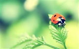 Title:Ladybug on green leaf wallpaper Views:11558