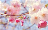 Title:a brilliant cherry wallpaper Views:12444