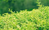 Title:green leaf wallpaper Views:10563