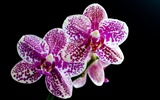 Title:pairs of orchids in full bloom wallpaper Views:6989