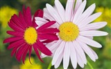 Title:two daisies pairs wallpaper Views:5957