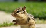 Title:Backyard Chipmunk - Adorable Chipmunk Wallpapers Views:14759