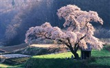 Title:Cherry blossom Tree in Misty Morning Japanese Blossoming cherry tree Views:65582