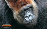 Title:Gorilla Wallpaper Views:8016