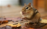 Title:Greedy Chipmunk - A cute chipmunk eating Almonds pictures Views:5130