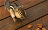 Title:Greedy chipmunk eating almond - chipmunk pictures1 Views:4249