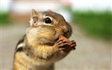 Title:Greedy chipmunk eating almond - chipmunk pictures Views:8688