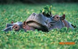 Title:Hippopotamus wallpaper Views:7107