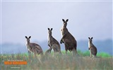 Title:Kangaroo Wallpaper Views:10295
