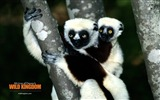 Title:Lemur wallpaper Views:6436