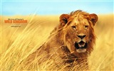 Title:Lion wallpaper Views:10498