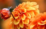 Title:Graceful Dahlia Views:10607