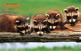Title:Raccoon wallpaper Views:6353