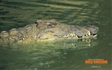 Title:alligator wallpaper Views:9182