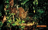 Title:cougar wallpaper Views:7534