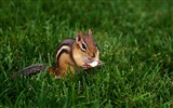 Title:loveable Chipmunk eating nut - Chipmunk Wallpaper Views:5335