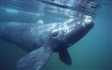 Title:Argentina - Southern right whale wallpaper Views:12791