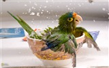 Title:Bathing Parrot photo Parrot bathing in a bowl Views:4534