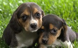 Title:Beagle puppies wallpaper Views:11547