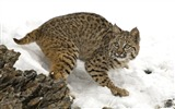 Title:Bobcat in Winter Views:6608