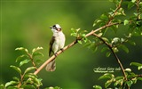 Title:Bulbul-leafy branches birds wallpaper Views:9522