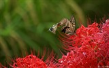 Title:Butterfly on Lycoris-Lycoris radiata Flowers Picture 01 Views:10882