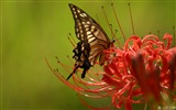 Title:Butterfly on Lycoris-Lycoris radiata Flowers Picture 02 Views:11344