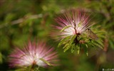 Title:Calliandra Flowers-Calliandra californica Flower Photo Picture 01 Views:5299