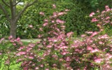 Title:Calliandra Flowers-Calliandra californica Flower Photo Picture 02 Views:8268
