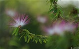 Title:Calliandra Flowers-Calliandra californica Flower Photo Picture Views:6823