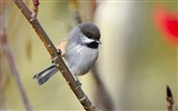 Title:Canada - Northern tits wallpaper Views:8424