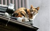 Title:Cat leisure time - Snapshot of cats in temples life Views:11406