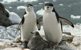 Title:Chinstrap Penguin Parents and Chicks Antarctica Views:10962