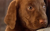 Title:Chocolate Lab Puppy Views:8727