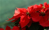 Title:Flower Poinsettia-Poinsettia the Christmas Plant Picture 01 Views:22304