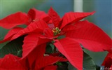 Title:Flower Poinsettia-Poinsettia the Christmas Plant Picture Views:45151