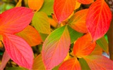 Title:Gradually red leaves wallpaper Views:8956