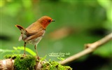 Title:Japanese songs Robin-spring woodland birds wallpaper Views:15260