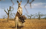 Title:Kangaroo-Platinum Creative Design wallpaper Views:7486