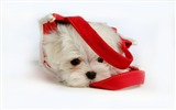 Title:Lovely Little White Fluffy Puppy wallpaper 02 Views:6883