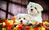 Title:Lovely Little White Fluffy Puppy wallpaper 05 Views:7897