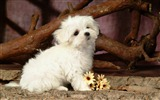Title:Lovely Little White Fluffy Puppy wallpaper 06 Views:9639