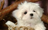 Title:Lovely Little White Fluffy Puppy wallpaper 07 Views:8742