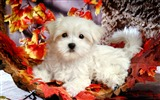 Title:Lovely Little White Fluffy Puppy wallpaper 11 Views:7254