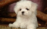 Title:Lovely Little White Fluffy Puppy wallpaper 12 Views:14062