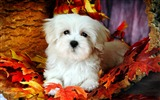 Title:Lovely Little White Fluffy Puppy wallpaper 15 Views:9283
