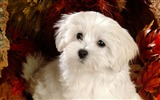 Title:Lovely Little White Fluffy Puppy wallpaper 16 Views:6517