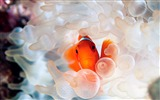 Title:Nemo clownfish in anemone Views:5879