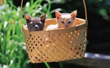Title:baskets in the cute little kitty wallpaper Views:5849